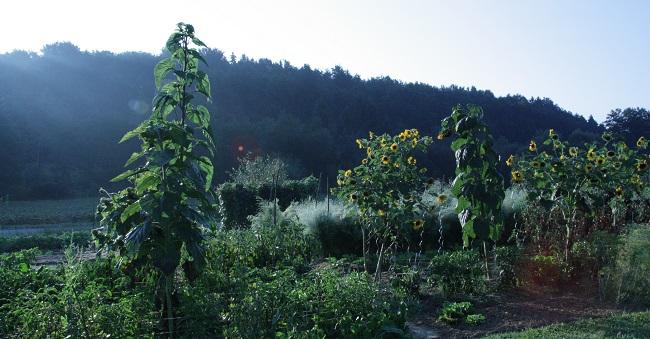 Bauerngarten - Morgentau