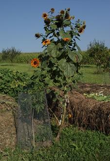 Kompost - Sonnenblume