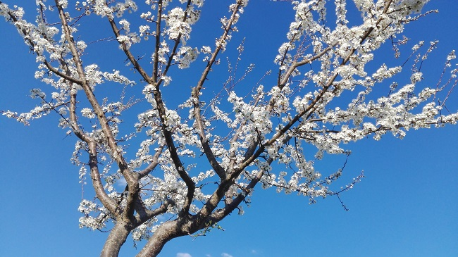 Kriacherl-Baum in Blüte