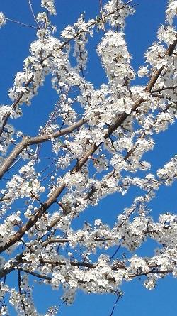 Kriacherl-Blüte in der Steiermark