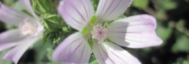 Blüte der Wegmalve
