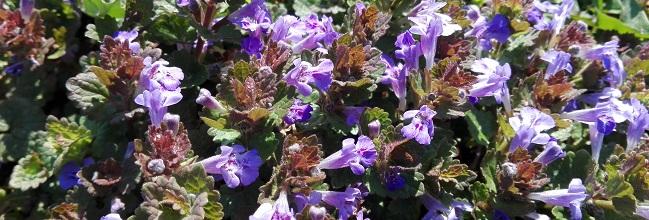 Gundermann in voller Blüte