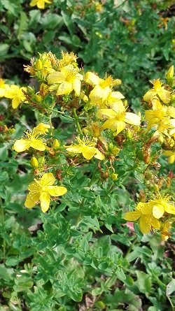 Johanniskraut-Blüte