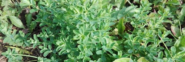 Johanniskraut, junge Blätter