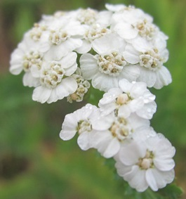 Schafgarbenblüte