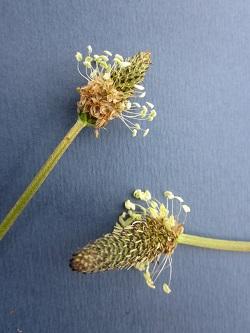 Spitzwegerich Blüten